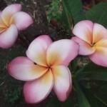 プルメリア オリビア