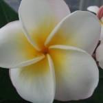 プルメリア ミラクルホワイト